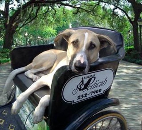 Savannah Pedicab: Socialized pets are welcome & Savannah is Dog Friendly!