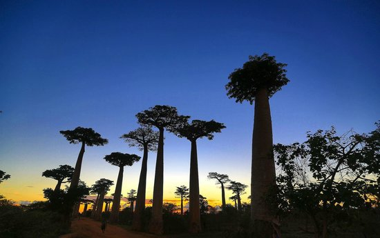Morondava, Madagascar:                   sunset at the baobabs