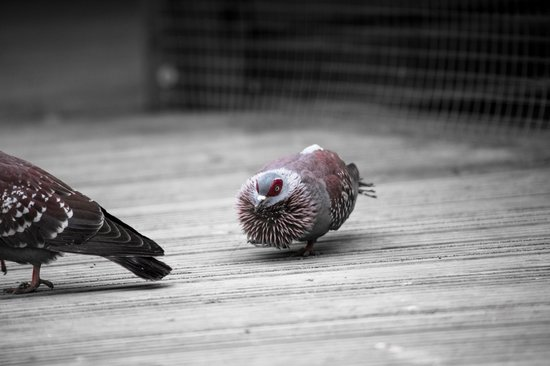 Birdworld:                   Pigeon showing off