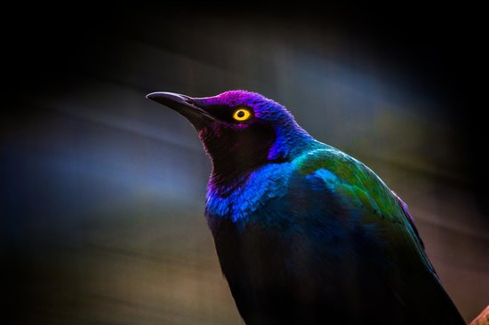 Birdworld:                   Purple Glossy Starling