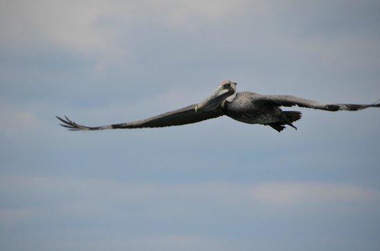 Shutterguide Tours:                   Pelican in flight - St. Augustine