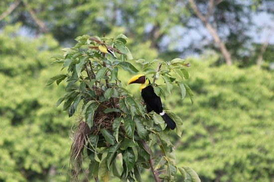 Hotel Costa Verde:                   The evil Toucan destroying a nest!