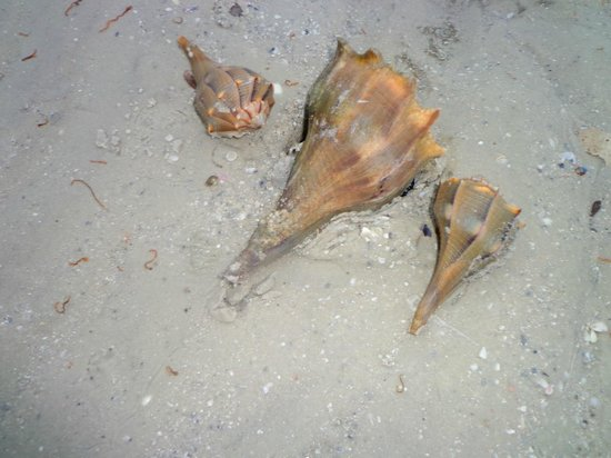 The Surf and Us South Shore Resort:                   Shells in the ocean in front of the resort