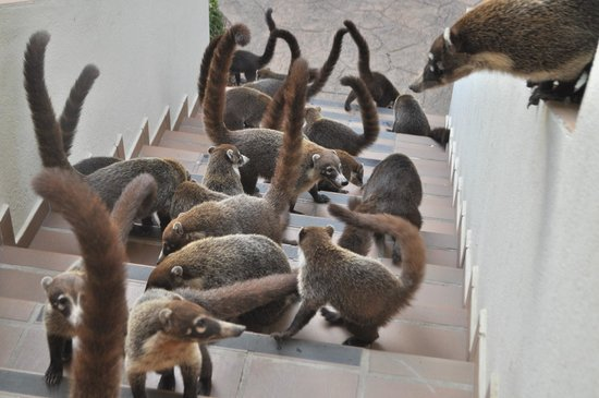 The Westin Golf Resort & Spa, Playa Conchal :                   Coatis were very friendly on the property