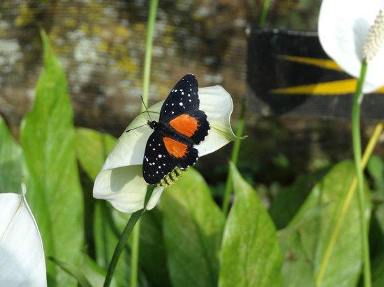 Spirogyra Butterfly Garden:                   borboleta no jardim