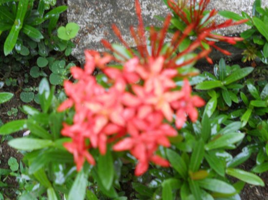 Hotel Lavas del Arenal:                                     Beautiful flowers all over the property