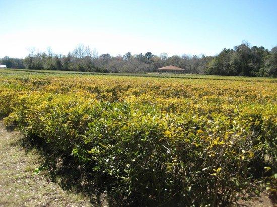 Charleston Tea Plantation照片
