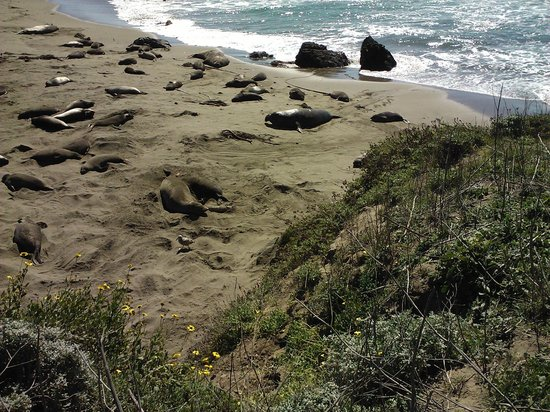 Elephant Seal Rookery:                   Elephant Seals Beach area-San Simeon, CA