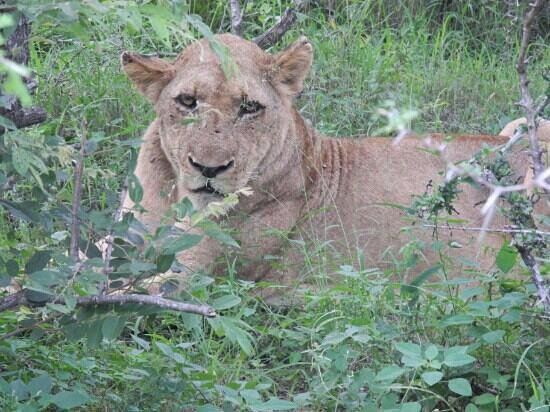 Lion Sands - Tinga Lodge:                                     We ventured off road to find this beautiful lioness!