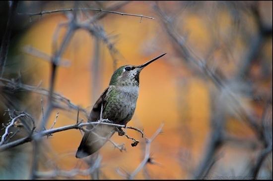 Hassayampa River Preserve:                                     One of many hummingbirds
