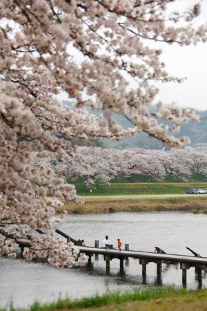 Unnan, Japón:                   願い橋と桜