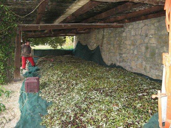 Agriturismo Poggetto: Olive harvest