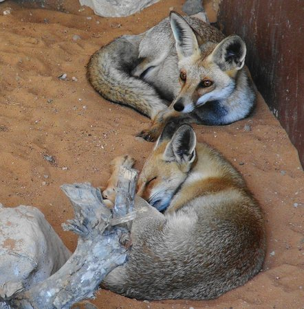 Emirates Park Zoo:                   Arabian Foxes.