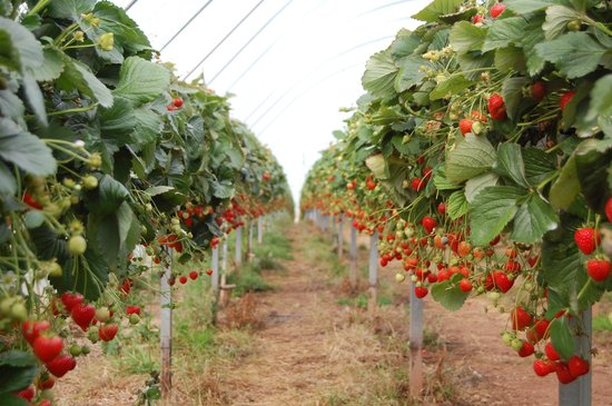 Belhaven Fruit Farm: Strawberry Tunnels