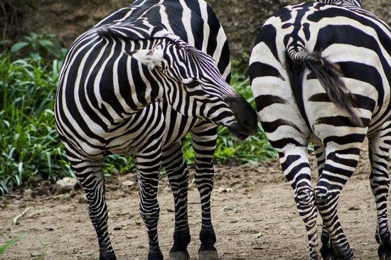 Zoologico de Cali:                   Cebras