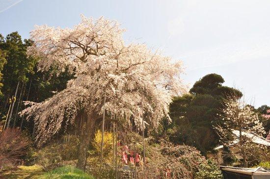 Taiki-cho, Japonya: sakura