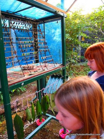 Live cocoon display in Butterfly House - Picture of Siam Insect Zoo, Mae Rim ...