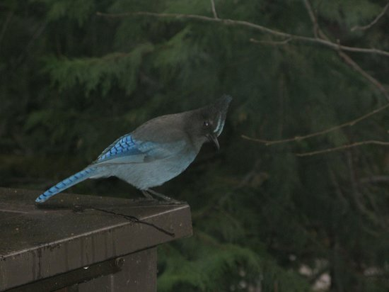 Yosemite Lodge At The Falls:                                     Stellers Jay on the patio railing.
