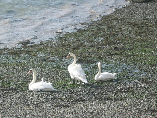 The Vanner: Swans on the beach outside the house