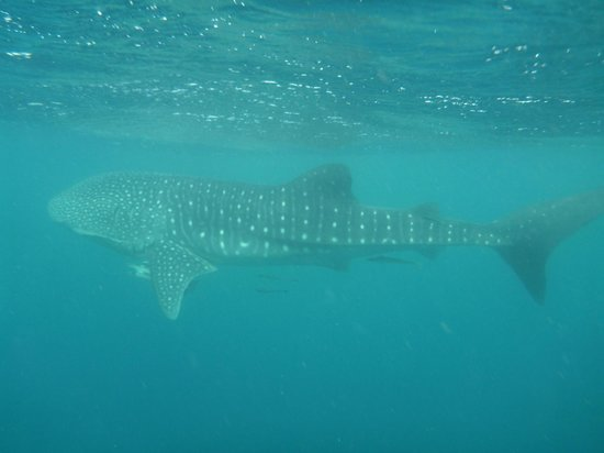 Whale picture of ningaloo reef dive coral bay tripadvisor - Ningaloo reef dive ...