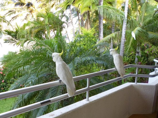 Beach Club:                   cockatoos on balcony