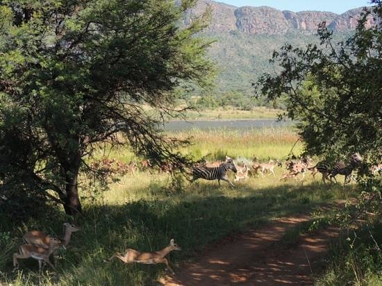 Wildside Camp:                                     Running zebras and impala.