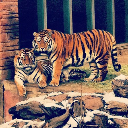 Denver Zoo: Beautiful tigers
