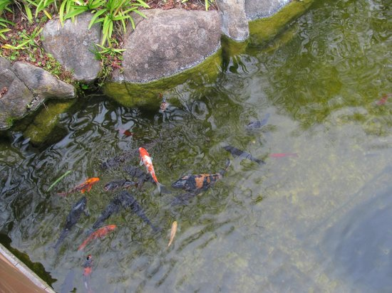 BEST WESTERN Seacliff Inn:                   Beautiful Koi pond.