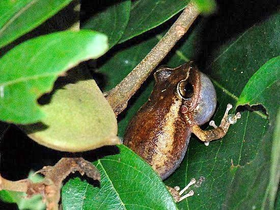 Rainforest Inn: Coqui singing in garden