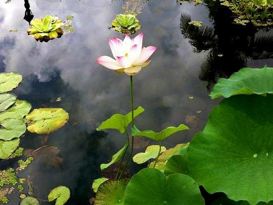 Rainforest Inn: Lotus flower in our pond