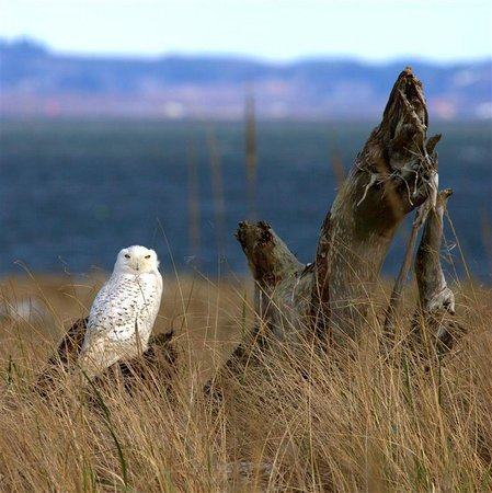 Ocean Shores North Jetty:                   Snowy Owl