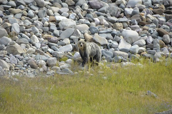 Many Glacier Hotel: Our first grizzly sighting