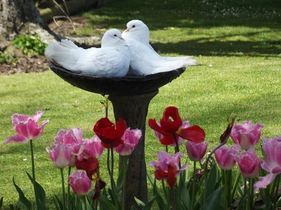 Tower Road Motel: The doves that stay in our garden