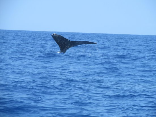 Captain Dan McSweeney's Whale Watching Adventures:                   Humpback