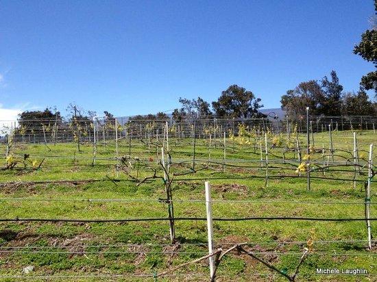Volcano Winery :                   Vineyards