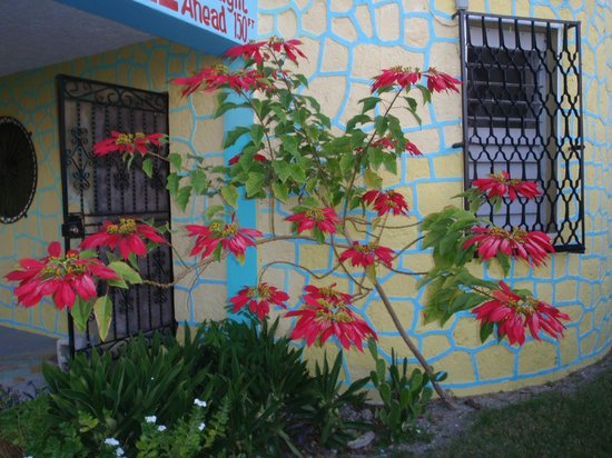 The Sea Breeze Hotel:                   Poinsettia near entrance