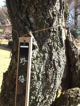 Okurayama Park :                   こんな名前の梅が…