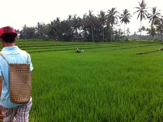 Puri Sunia Resort:                   rice paddy and jungle trek