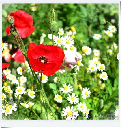 Angkhang Station:                   ดอกไม้สีแดงคือดอกฝิ่นประดับนะคะ  ส่วนสีขาวคือดอกคาโมมายน์ มีอยู่ตามสวนต่างๆ ภา