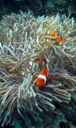 Eco-Divers:                   Anemone Fishies!