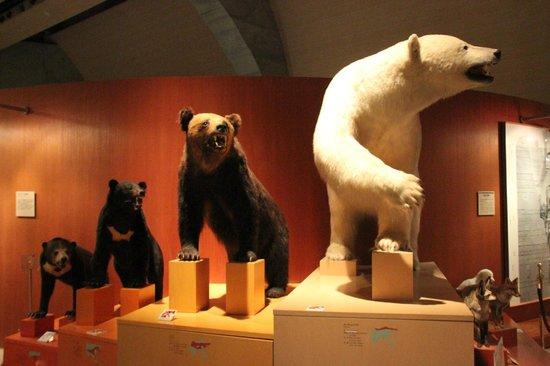 Gunma Natural Museum :                   クマの剥製による、ベルグマンの法則の開設展示