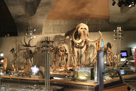 Gunma Natural Museum :                   ゾウの仲間達の骨格標本群
