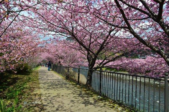 Kawazu-cho, ญี่ปุ่น:                   河津桜トンネル