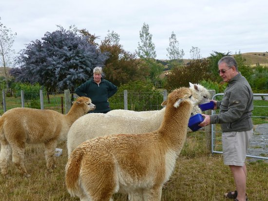 The Summit Lodge:                   Feeding Alpacas!