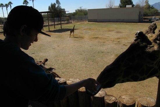 Wildlife World Zoo and Aquarium:                   Giraffe feeding