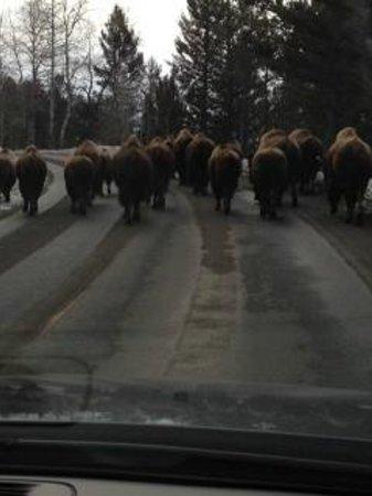 Mammoth Hot Springs Hotel & Cabins:                   A Yellowstone traffic jam