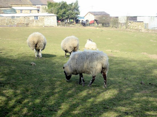 Pack Horse Inn:                   Sheep grazing across the road
