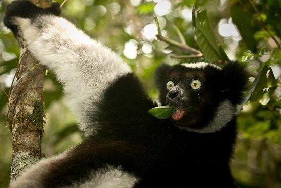 Andasibe-Mantadia National Park  (Reserve of Perinet):                                     Lemur