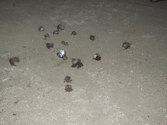 Long Caye Resort:                   Hermit Crab Race