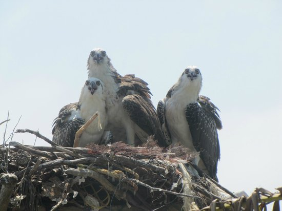 Long Caye Resort:                   Osprey nest